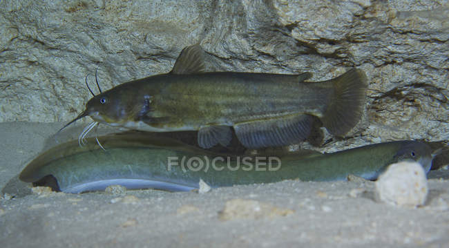 Bullhead bagre nadando sobre American Eel - foto de stock