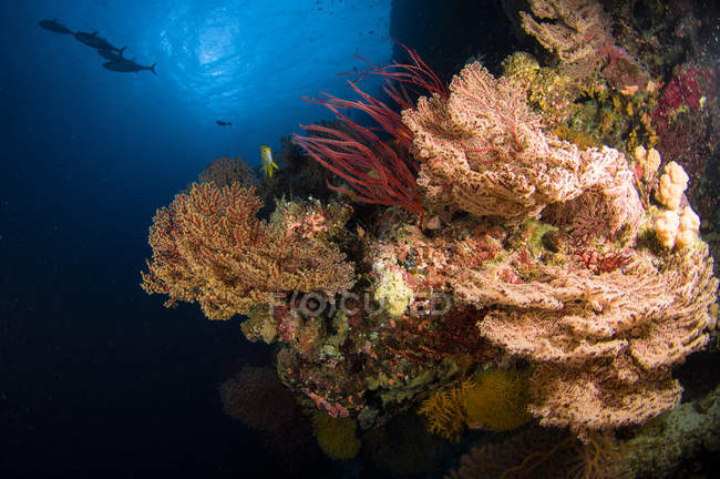 Sea fans and whips on reef — Stock Photo