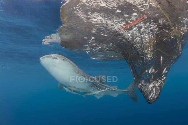 Whale shark swimming around nets — Stock Photo
