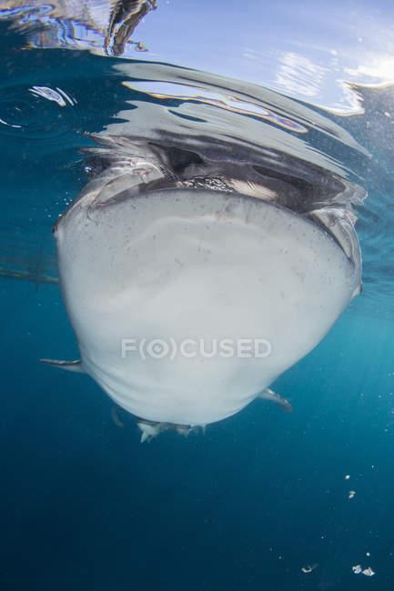 Tiburón ballena incumplir la superficie - foto de stock