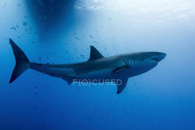 Weißer Hai in der Nähe von Insel Guadalupe — Stockfoto