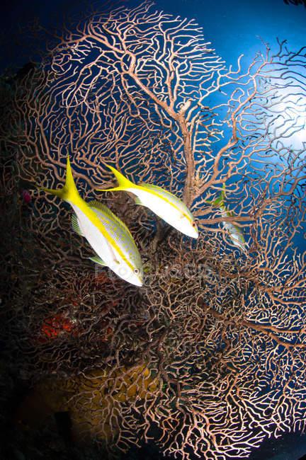 Pargos de cola amarilla y abanico marino - foto de stock