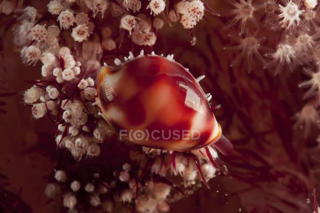 Раковина каури на дендронефтии мягких кораллов — стоковое фото