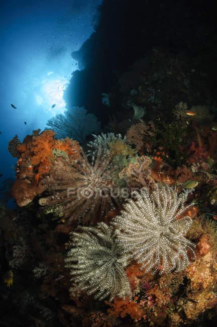 Paisaje marino de crinoides en arrecife - foto de stock