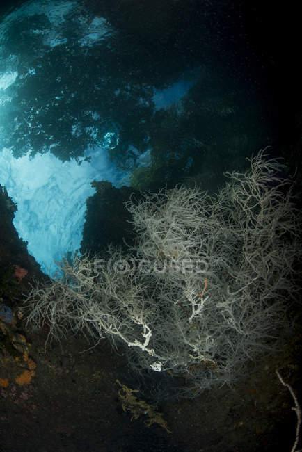 Arbustos de coral en agua oscura - foto de stock