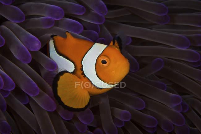 Ложная рыба-клоун — стоковое фото