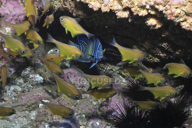 Kaiserfisch und Kardinalbarschen unter Felsvorsprung — Stockfoto