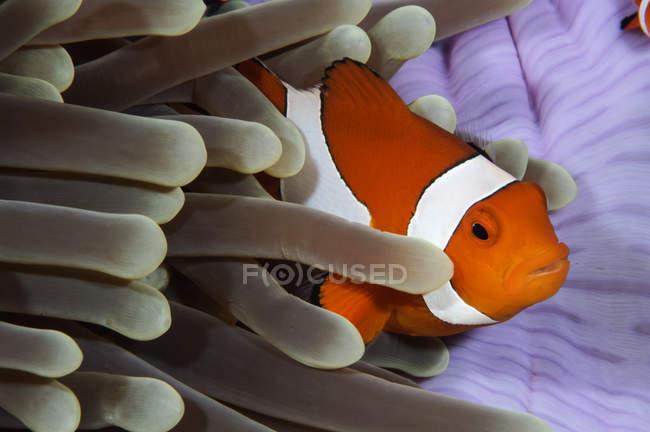 Clownfische verstecken sich in Anemone — Stockfoto
