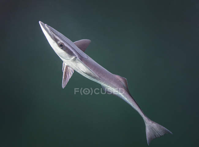 Remora fish looking for host to ride — Stock Photo