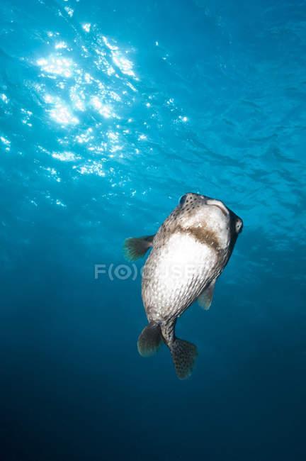 Pocupinefish en agua azul - foto de stock