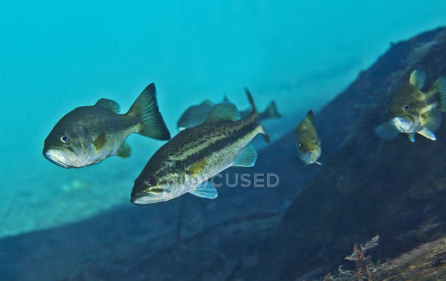 Gang of Largemouth Bass swimming upstream — Stock Photo