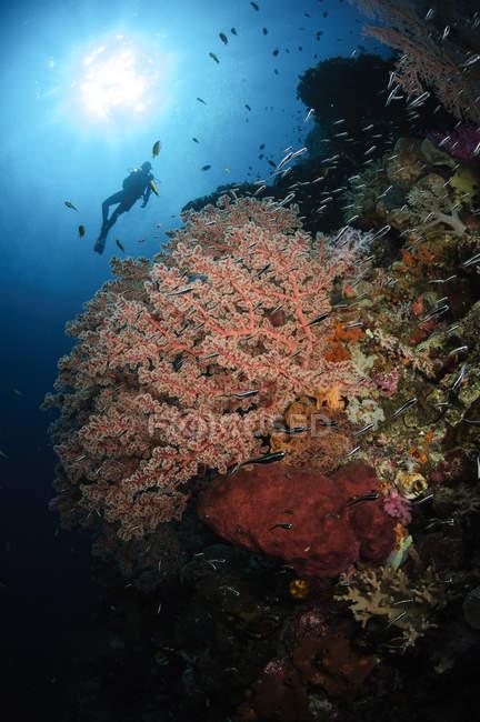 Diver swimming over soft coral seascape — Stock Photo