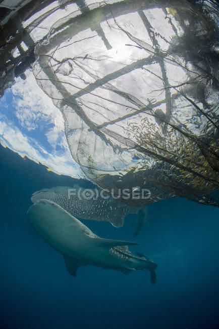 Walhai schwimmen in der Nähe von Fischernetzen — Stockfoto