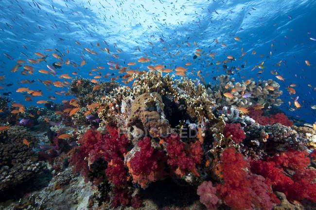 Schwarmfische und Korallen — Stockfoto