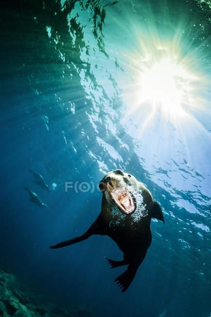 Leones marinos de California cerca de La Paz - foto de stock