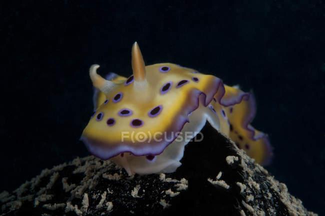 Chromodoris kuniei nudibranche — Photo de stock