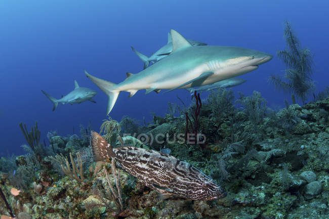 Caribbean reef sharks and goliath grouper — Stock Photo