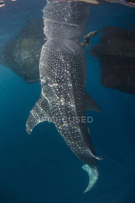 Walhai schwimmen unter Oberfläche — Stockfoto