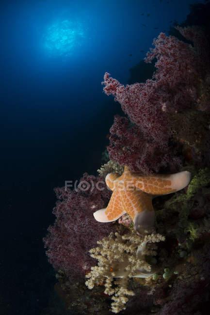 Stella marina arancione su corallo molle — Foto stock