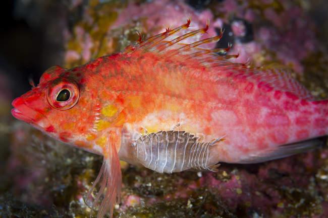 Isópodo parásito unido al pez halcón - foto de stock