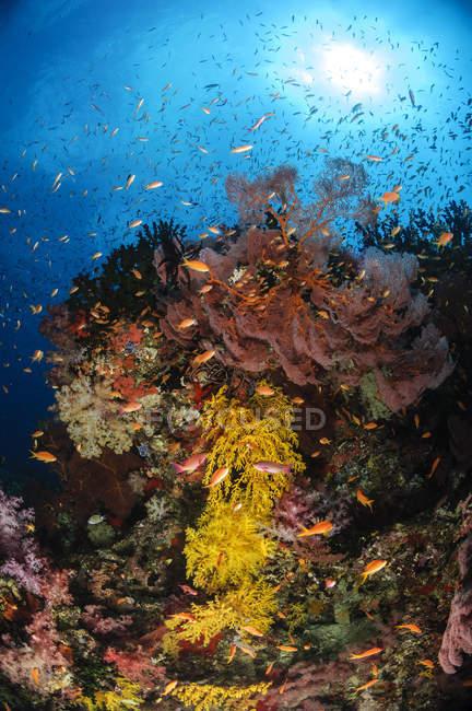 Abanicos suaves de coral y mar - foto de stock