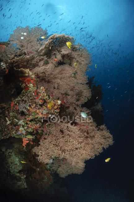 Sea fans on reef — Stock Photo