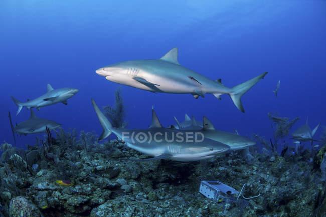 Caribbean reef sharks swimming along reef — Stock Photo