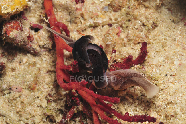 Swallowtail headshield nudibranchs — Stock Photo