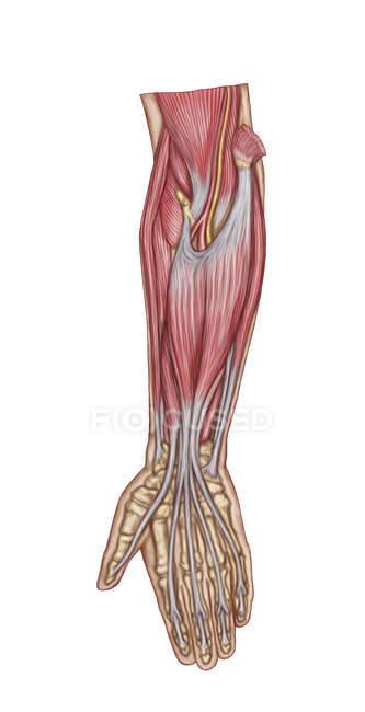 Медичні ілюстрація анатомії м'язах передпліччя — стокове фото