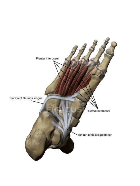 Modelo del pie que representa los músculos plantares y las estructuras óseas con anotaciones - foto de stock