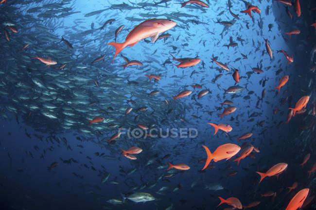 Peixe-escola no Oceano Pacífico — Fotografia de Stock