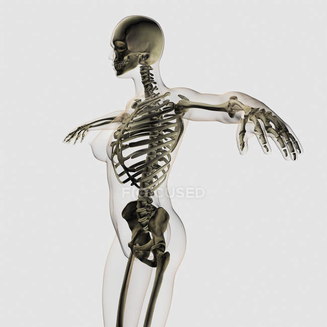 Vista tridimensionale del sistema scheletrico femminile — Foto stock