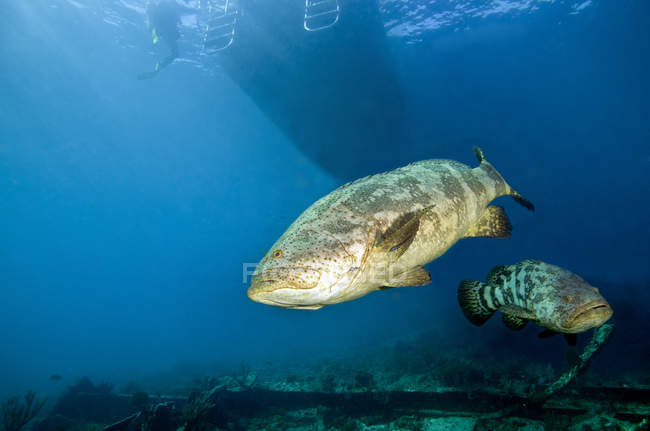 Goliath groupers under dive boat — Stock Photo