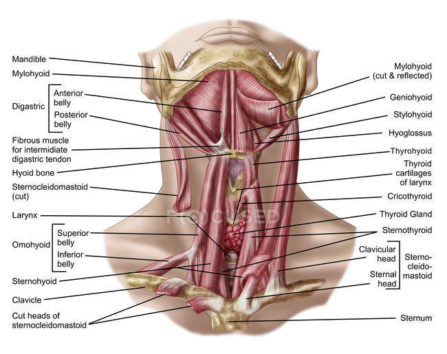 Anatomy Of Human Hyoid Bone And Muscles Stock Photo 174710306