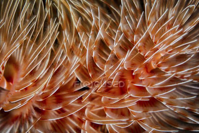 Щупальца перьевого червя — стоковое фото