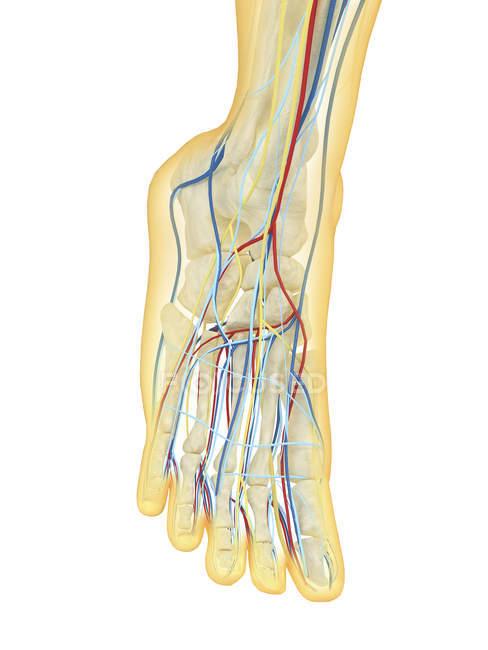 Нога человека с нервной, лимфатической и кровеносной систем — стоковое фото