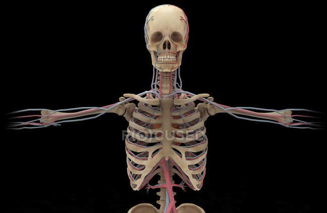 Representación 3D del sistema circulatorio humano sobre fondo negro - foto de stock