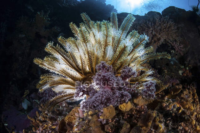 Colorido crinoide en el arrecife de coral - foto de stock