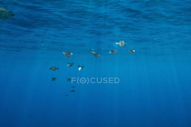 Кальмари риф bigfin у формуванні — стокове фото