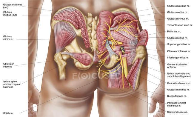 Anatomia dos músculos glúteos nas nádegas humanas — Fotografia de Stock