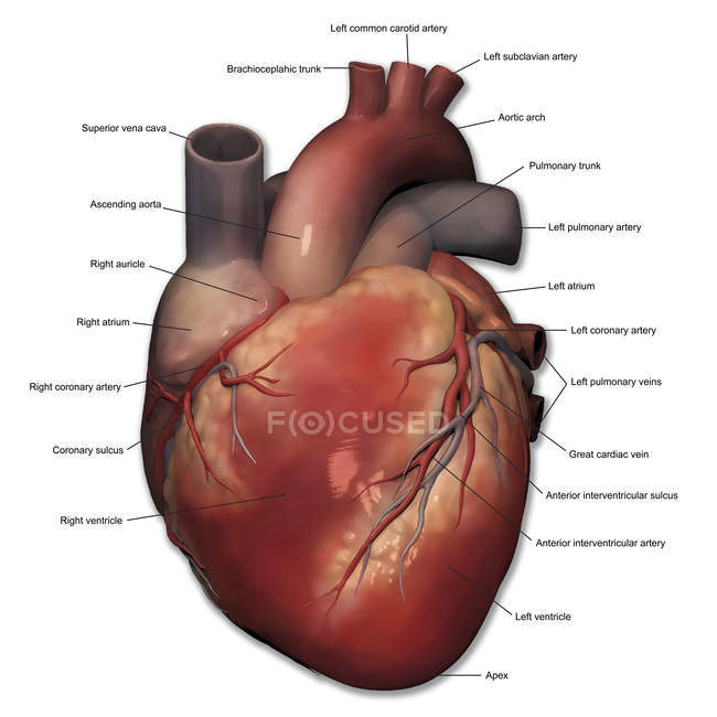 Subclavian Artery Stock Photos Royalty Free Images Focused
