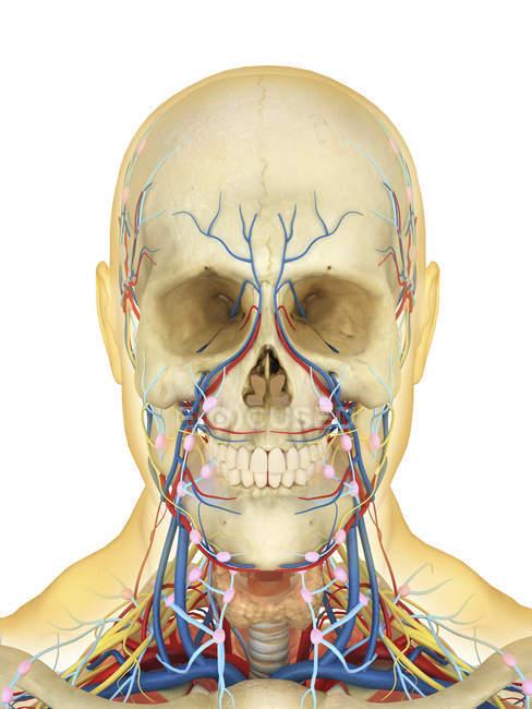 Человеческое лицо и шею с нервной, лимфатической и кровеносной систем — стоковое фото