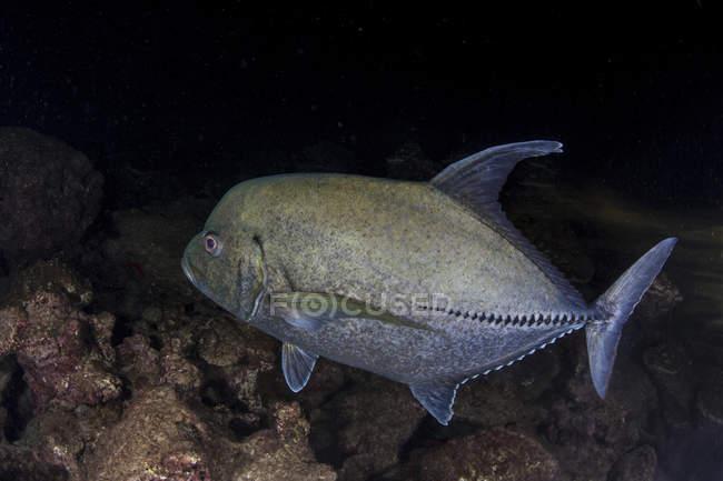 Trevalmente preto nadando sobre o fundo do mar perto da ilha de Cocos, Costa Rica — Fotografia de Stock