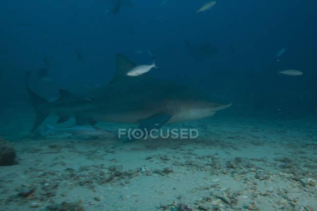Großer Bullenhai am Tauchplatz im Bistro — Stockfoto