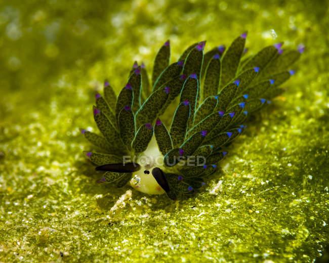 Costasiella babosa chupadora - foto de stock