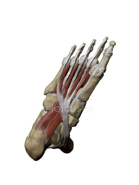 Pie con músculos intermedios plantares y estructuras óseas - foto de stock