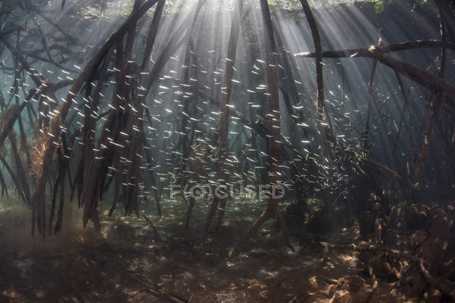Gregge di pesci in radici di foresta di mangrovie — Foto stock