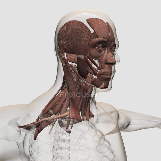 Anatomía de los músculos faciales y del cuello masculinos - foto de stock
