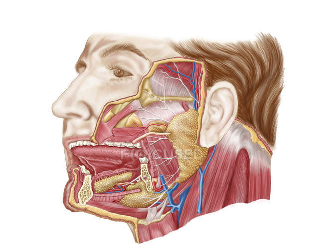 Anatomy of human salivary glands — Stock Photo
