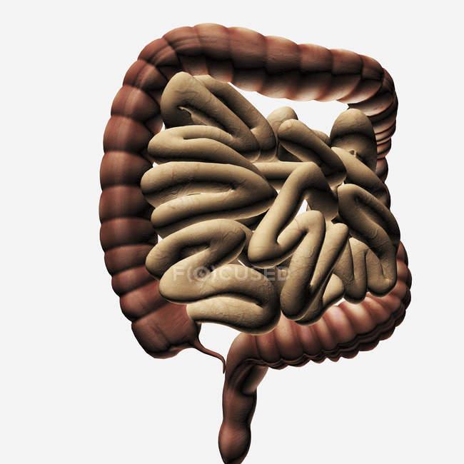 Ilustración médica de los intestinos grueso y delgado - foto de stock
